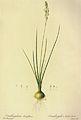 Ornithogalum tenuifolium in Les liliacees.jpg