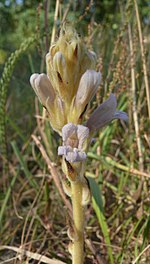 Orobanche arenaria 200713b.jpg