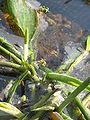 Orontium aquaticum opening2.jpg