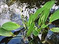 Orontium aquaticum opening3.jpg