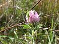 Orthoptera sp. (5037646062).jpg