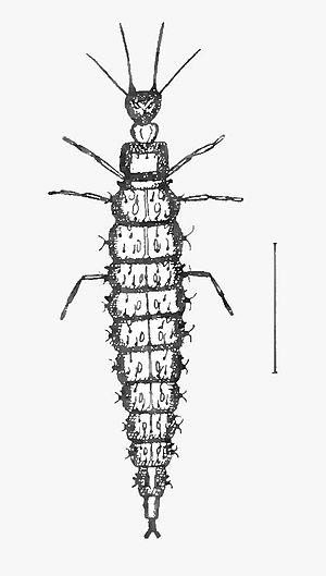 Neuroptera - Larva of Osmylus fulvicephalus, Osmylidae