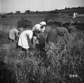 Oves žanjejo, Bernetiči (na Mlaki) 1950 (4).jpg