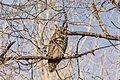 Owl (60810950).jpeg