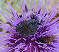 Oxythyrea funesta - Flickr - gailhampshire (1).jpg