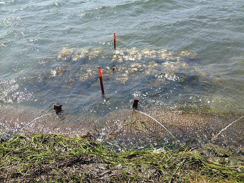 File:Oyster reefs are an increasingly utilized technique in building living shorelines. Credit- Lia McLaughlin-USFWS (14649164123).jpg
