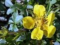 P.reptans-flor-1.jpg