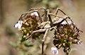 PN del Garraf - Araña 01 - Aranya - Spider (Pisaura mirabilis) (4515743713).jpg