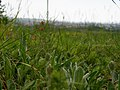 PP Na Popovickem kopci 050 Hieracium pilosella.jpg