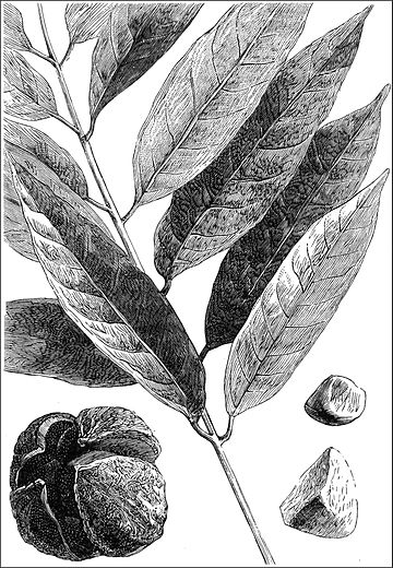 PSM V18 D399 Carapa guianensis fruits and leaves.jpg