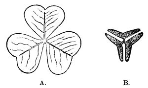 PSM V18 D520 Oxalis acetosella in diurnal and nocturnal state.jpg