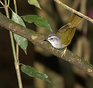 White-rimmed warbler species of bird