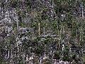 Pachira (Bombacopsis) cubensis 1215a.jpg