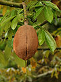 Pachira aquatica (fruit).jpg