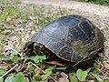 Painted Turtle (35603622451).jpg