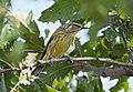 Palm Warbler (37712343851).jpg