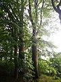 Památné stromoví Bransoudov 13.jpg