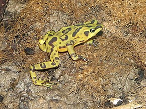 Description de l'image Panamonian Golden Frog 1.jpg.