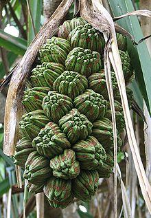 Frutti di P. tectorius