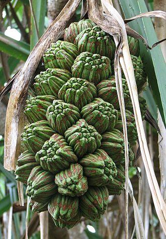 Pandanus tectorius - Pandanus tectorius fruit showing phalanges.