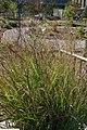Panicum virgatum Shenandoah 15zz.jpg
