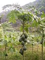 Papaya tree.jpg