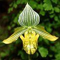 Paphiopedilum venustum alba Orchi 119.jpg