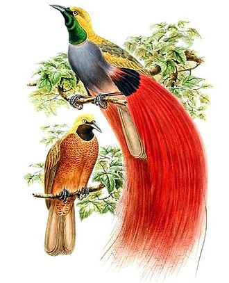 Richard Bowdler Sharpe - Books of birds by Bowdler Sharpe: Male birds-of-paradise like Paradisaea decora compete for mates with elaborate patterns and displays developed by sexual selection.