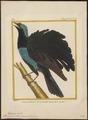 Paradisea atra - 1700-1880 - Print - Iconographia Zoologica - Special Collections University of Amsterdam - UBA01 IZ15700155.tif
