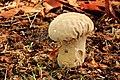 Parelstuifzwam (Lycoperdon perlatum). Locatie, Hortus (Haren, Groningen) 08.JPG