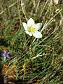 Parnassia palustris sl2.jpg