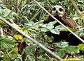 Pasear por un arrollo y encontrarse con una hembra de aguilucho lagunero - panoramio.jpg