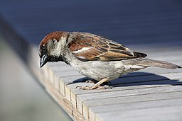 Passer domesticus -California, USA-8