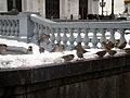 Passer domesticus -Moscow -flock-8c.jpg