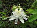 Passiflora subpeltata (9234240300).jpg