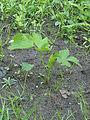 Pastinaca sativa subsp. sativa young plant, pastinaak jonge plant (1).jpg