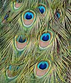 Pavo cristatus feather LC0026.jpg