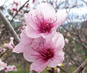 Peach production in China - Peach flowers