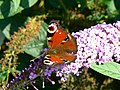 Peacock butterfly on buddleia, Nailsworth - geograph.org.uk - 1451551.jpg