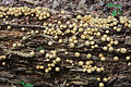 Pear-shaped puffball Lycoperdon pyriforme on log.jpg