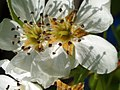Pear Blossoms (68039045).jpeg