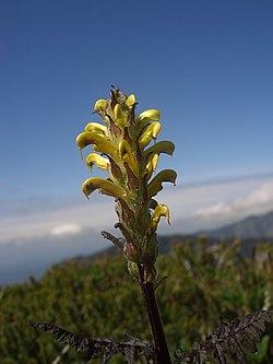 Pedicularis rainierensis.jpg