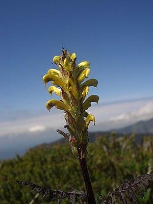 Pedicularis rainierensis - Image: Pedicularis rainierensis