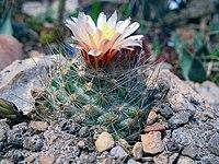 Pediocactus paradinei fh 052 5 AZ in Kultur B