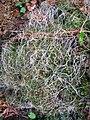 Pellia epiphylla with setae.JPG