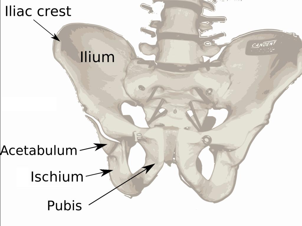 Filepelvis Diagramg Wikimedia Commons