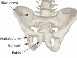 iliac crest - wikipedia, Human body