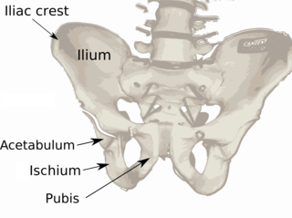 Ilium (bone) uppermost and largest part of the hip bone, and appears in most vertebrates (including mammals and birds), but not bony fish or snakes