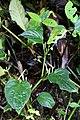 Peperomia sp. praematura group (Piperaceae) (49863374568).jpg