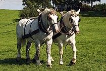 Percherons attelés mondial du cheval percheron 2011Cl J Weber15 (24000846981).jpg